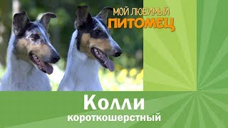 Колли короткошерстный: удивительная собака