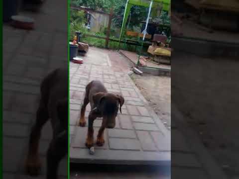 Mari the Doberman Pinscher puppy for sale by Euro Puppy