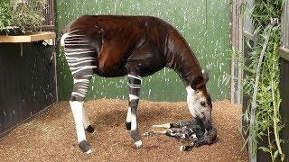 Geboorte van een okapi in Diergaarde Blijdorp Rotterdam