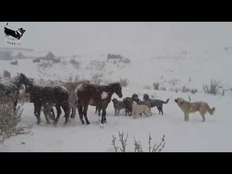 livestock guardian dogs sheep guarding on snowy day