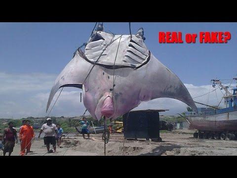 GIGANTIC RAY CAUGHT IN PERU  - Real or Fake?