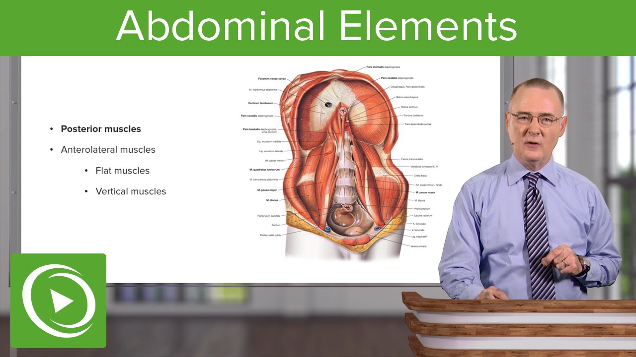 Skeletal & Muscular Elements of the Abdominal Wall – Anatomy | Lecturio