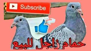 مزاد زغاليل وشباب زاجل للبيع تحطيم الاسعار