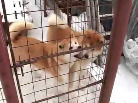 Про породу собак - Акита-ину