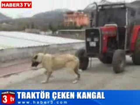 The Strongest Dog of the World (Kurdish Kangal Dog)