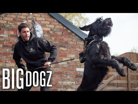 Training Giant Schnauzers - The $37,000 Guard Dogs | BIG DOGZ