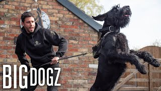 Training Giant Schnauzers  The $37,000 Guard Dogs | BIG DOGZ