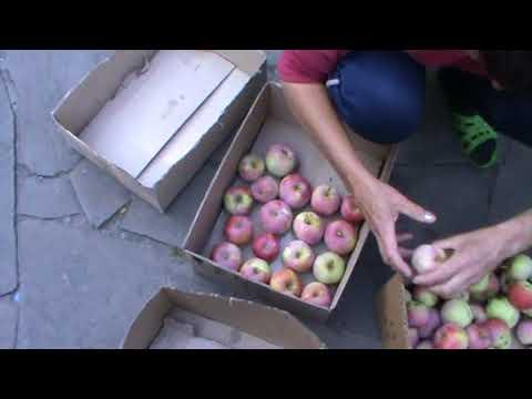 Хранение яблок на зиму в домашних условиях. Яблоки на зиму.