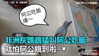 非洲灰鸚鵡猛叫阿公吃飯 就怕阿公餓到啦~♥|三立新聞網SETN.com