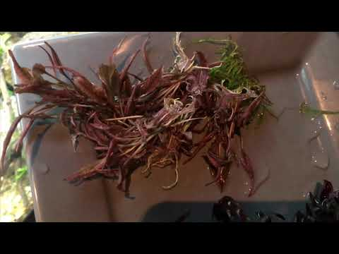 Planting Cryptocoryne wendtii pink panther or crypt wendtii