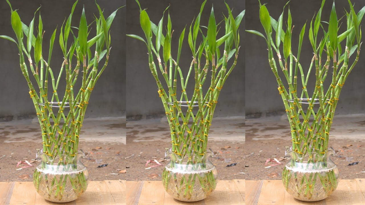 How to grow plants in water for many roots | Growing lucky bamboo from cuttings