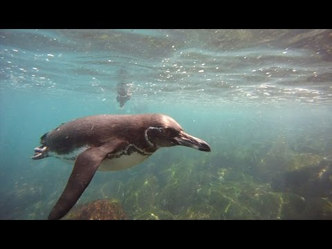 Swimming with Galapagos Penguins in the Galapagos Islands, Ecuador - Swimming, Snorkeling & SCUBA