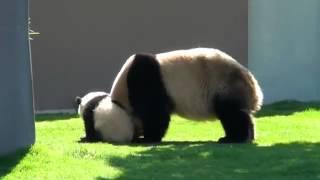 Мама панда играет со своим ребенком (приколы)