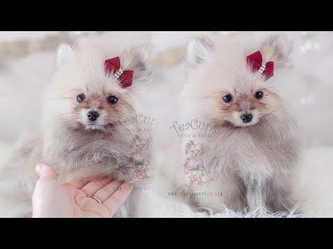 Adorable Pomeranian Puppy | TeaCups, Puppies & Boutique