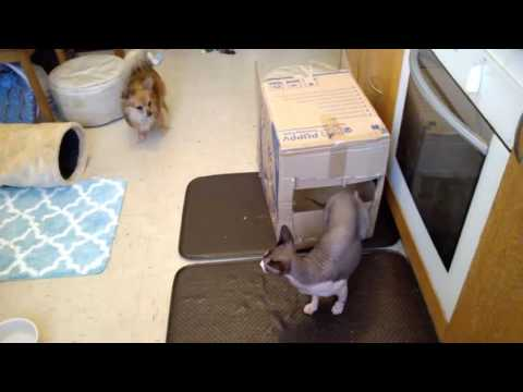 Chihuahua Dylan Playing box and tunnel with Sphynx Cat Ninja