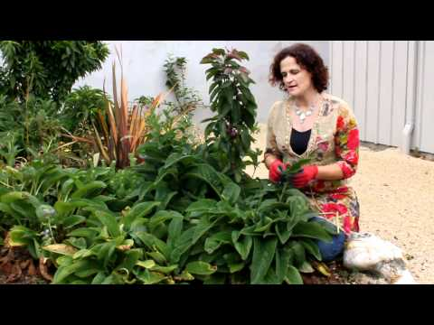 How to Grow and use Comfrey in Your Garden