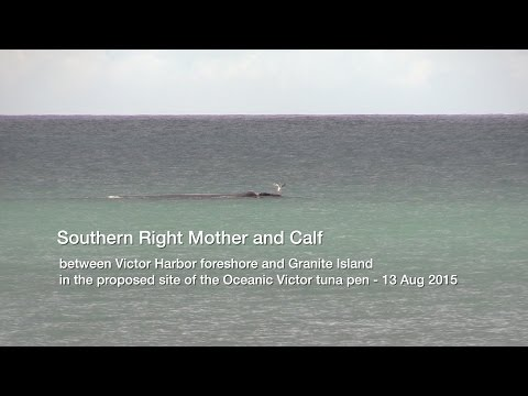 Whales of Encounter Bay - Southern Right Mother & Calf v2 - 13 Aug 2015