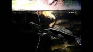 円山動物園 首の長~いカメ
