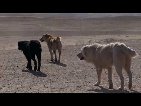 видео: Аборигенные САО Таджикистана   Саги Дахмарда и овцы породы