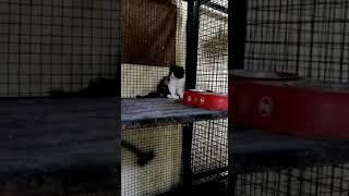 ANSHU.DOG.CARE.9716929043 Show quality kitten for sale at Delhi