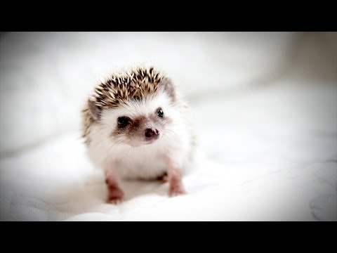The TINIEST, MOST ADORABLE HEDGEHOG - YouTube