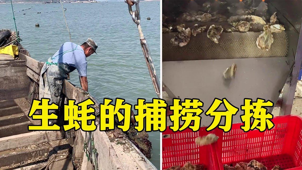 爱吃生蚝的朋友们,你们知道生蚝是如何捕捞分拣吗?大诚子带你出海探索!【爱吃的大诚子】