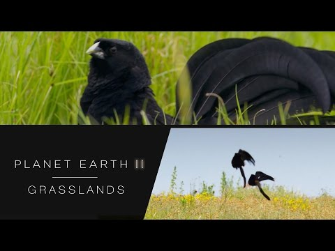 Widow birds bounce for attention - Planet Earth II: Grasslands - BBC One