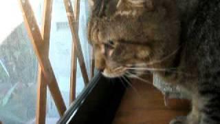 近所のボス猫クリムゾンに、一方的にケンカをうるコペルですが、全く相...