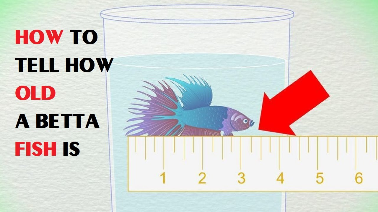 How to tell how old a betta fish is youtube how to tell how old a betta fish is nvjuhfo Choice Image