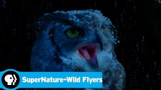 SUPERNATURE - WILD FLYERS | A Flying Squirrels Greatest Threat | PBS
