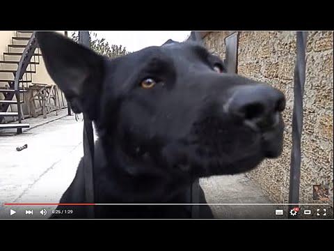ЧЕРНЫЕ Немецкие Овчарки на ОХРАНЕ. Black German Shepherd guard the house. Одесса.