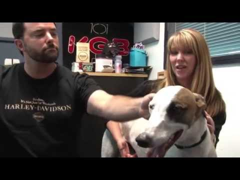 Adopt Arthus The Greyhound - Clint's Furry Friend Finder