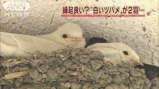 山梨県の寺で、白いツバメのひなが2羽、産まれました。 ・・・記事の続...