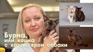 Бурма, или кошка с характером собаки. Питомник Oktarin.