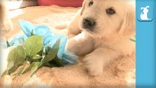 Fluffy Golden Retriever Puppy Loves Flowers - Puppy Love