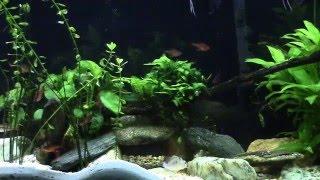 Скачать Crenecichla Compressiceps Dwarf Green Pike Cichlid