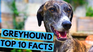 Greyhound Dog Breed  TOP 10 Interesting Facts