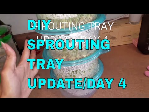 DIY- Sprouting Tray Update DAY 4 | Did It Work?