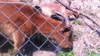 Koza domácí na pastvě