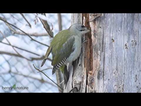 Nationalpark Bayer. Wald: Grau- Specht Sucht Am Stamm Nach Insekten