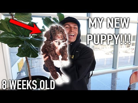 FLEW 3000 MILES TO GET MY NEW PUPPY! (Portuguese Water Dog)