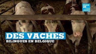 Des vaches bilingues en Belgique
