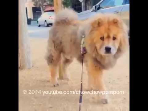 chow chow dog out for a walk - chowchowpompom instagram vid backup