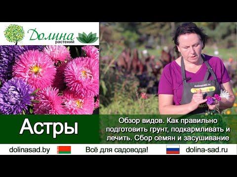 Вопрос: Как классифицируется Каллистефус по Н. П. Петренко?