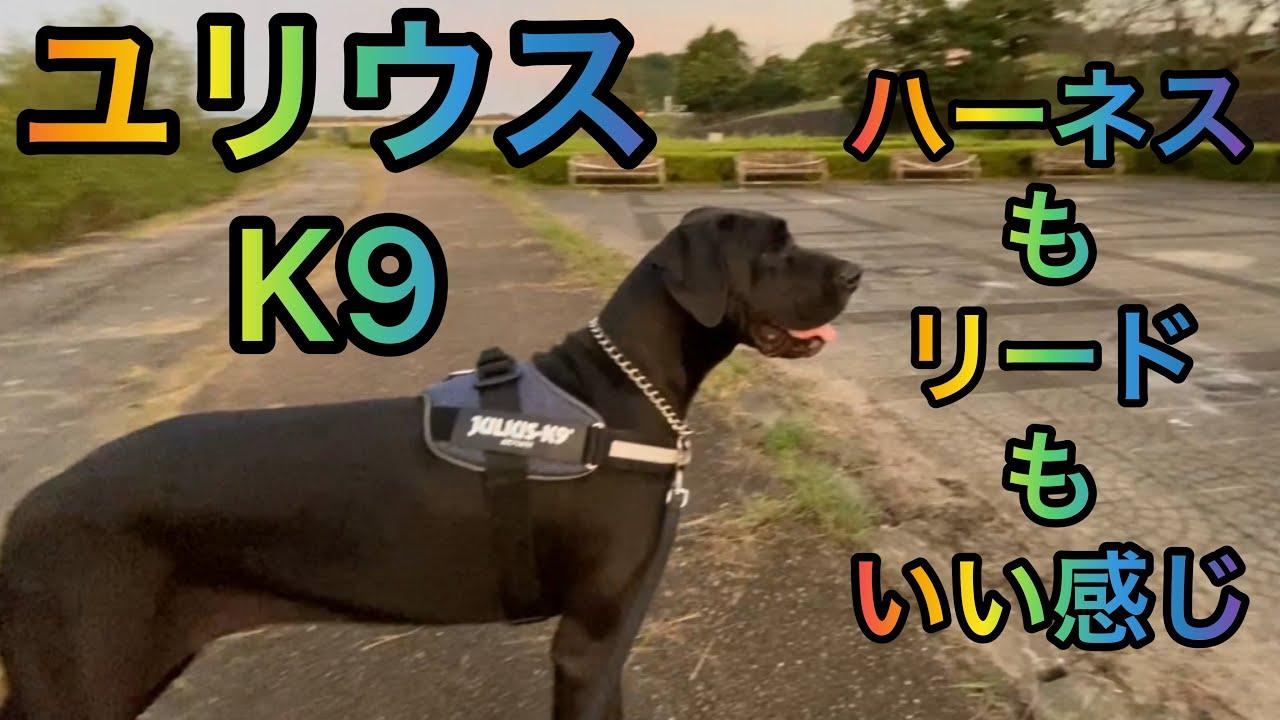 ユリウスK9 ハーネス&リードお散歩 超大型犬 大型犬 グレートデン クィーンちゃん 渡辺ボス