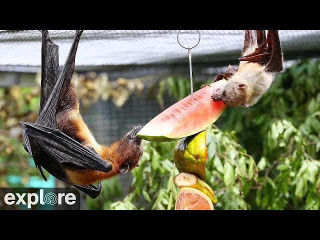 The Mixed Species Flying Fox cam  powered by EXPLORE.org
