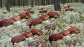 8-812-407-27-29 (спб). Купить в каталоге. Плоды морошки содержат микроэлементы, особенно кроветворного ряда, витамины (а,. Морошка предпочитает участки с влажной, слабокислой, достаточно плодородной почвой и.