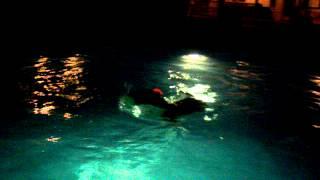 English Bull Terrier Hoku Hawaii Swimming Bully!