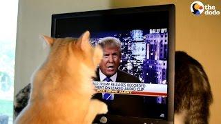 Cat Attacks Donald Trump | The Dodo