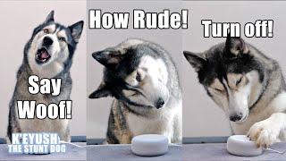 my-husky-talks-to-alexa-and-she-heard-him